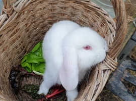 Rabbits French Lop