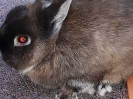 Netherland Dwarf  doe for sale