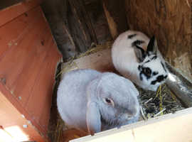 Two male bunnies free to good home
