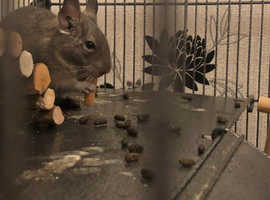 2 7month old male degus