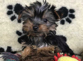 Stunning litter of Yorkshire Terrier pups available