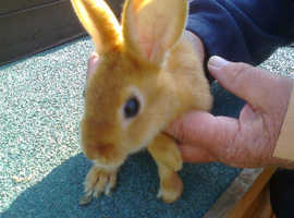 Orange Satin Mini Rex Female Rabbit 14 Weeks Old