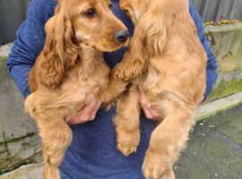2 show tipe cocker spaniel puppies boys