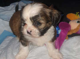 Shi chi puppys for sale