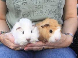Guinea Pigs - baby boys