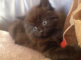 Ragdoll cross kittens. 2 left