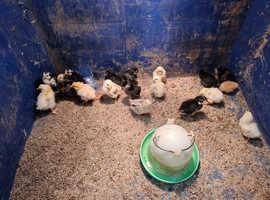 Easter egger chicken chicks