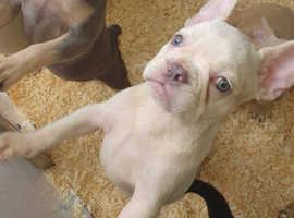 Lilac tan platinum french bulldog