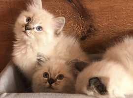 Ready now Ragdoll kittens TICA stunning European standard kittens ready now