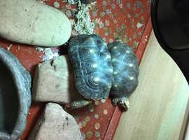 2 red foot tortoises 8 years old