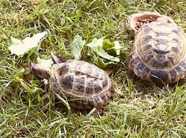 Wanted Horsfield Tortoise