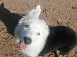 Male collie pup