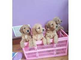 Golden Cockapoo girls