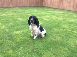 English springer spaniel (kc reg)