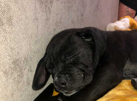 Male cane corso available