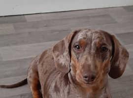 Miniature dachshund kc registered