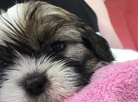 Shih tzu puppy for sale boy
