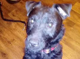 Patterdale terrier boy