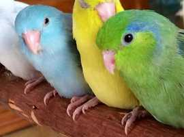 Beautiful baby parrotlets