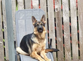 German Shepherd for sale to good home