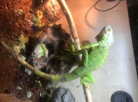 Green iguana 11months old plus viv