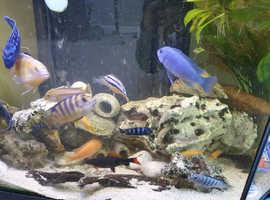 Complete set up chichlid fish tank.