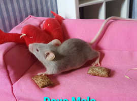 Fancy Mice for new homes
