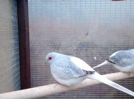 Silver, diamond doves,