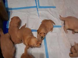 Kc reg golden retriever puppies