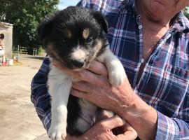 Border Collie Puppy - Working Parents
