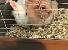 2 females rabbits