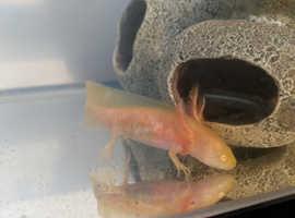 Golden Albino Axolotl Juvenile