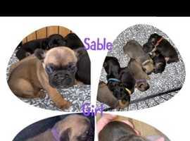 Kc registered Frenchbulldog puppies