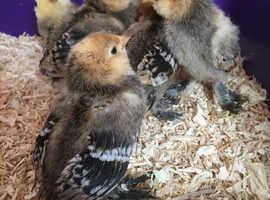 Millefleur Barbu D'uccle chicks