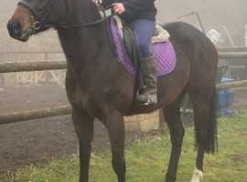 4yr TB Mare - Good sort