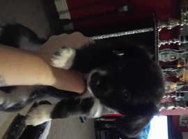 Beautiful jack-chi puppy