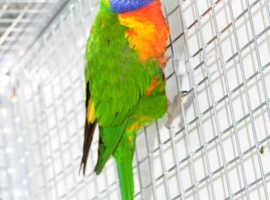 Rainbow Lorikeet for sale, 8