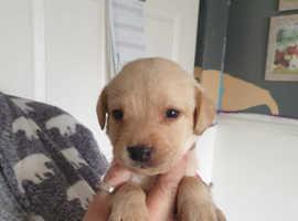 Labrador babies for sale