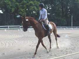 FELIDAE - 16.2hh Irish Sport Horse