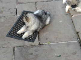 Keeshond pups 3 left from litter of 9