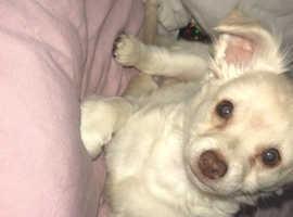 Mini toy size malchi boy puppy with green eyes