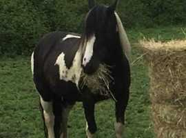 13.3 black and white cob mare