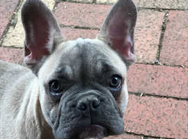 Cheeky KC Registered French Bulldog puppy, ready now