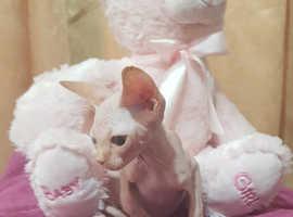 Pure sphynx last Kittens
