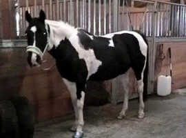 Horse lwvtb ASAP