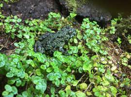 Oriental Fire Bellied Toads Bombina orientalis