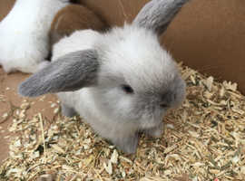 6 gorgeous pure bred baby mini lops left