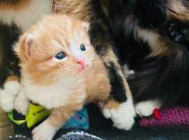 Main coon kittens ready 27th May!