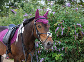 SOLD ...... ARIEL 12.2hh 9 years old pony for sale