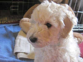 Pure Miniature Poodle